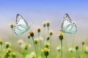 תמונה של עונת האביב - 2 פרפרים